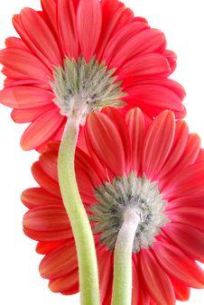 Free Red Gerber Flowers Stock Photos - 3535013