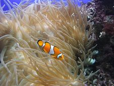 Free Nemo Royalty Free Stock Image - 3535676
