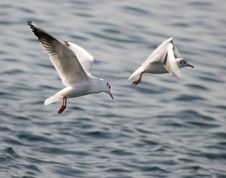 Free Seagull Royalty Free Stock Images - 3536529
