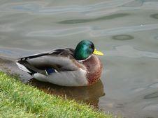 Free Duck Stock Photo - 3537480