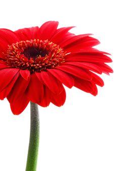 Free Red Gerber Stock Image - 3538241