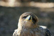 Free Tawny Eagle 2 Royalty Free Stock Photos - 3538318