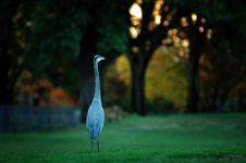 Free Great Blue Heron Stock Photography - 3538372