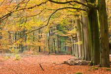 Free Beech Row Royalty Free Stock Images - 3538949