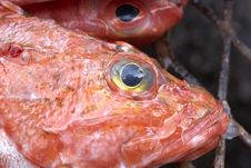 Free Rock Fish Closeup Royalty Free Stock Image - 3539436