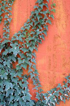 Free Climbing Ivy Stock Image - 3539591