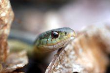 Free Snake_eyes Royalty Free Stock Photo - 3539715