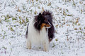 Free A SHELTIE IN THE SNOW Stock Image - 35309421