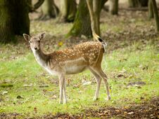 Female Fallow Deer Royalty Free Stock Photo