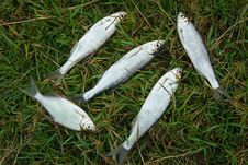 Free Fish Caught In The River, Lying On The Grass.. Stock Photos - 35300893