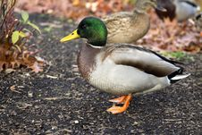 Free Male Duck Posing Royalty Free Stock Photos - 35307618
