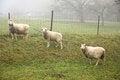 Free Three Sheep Royalty Free Stock Photo - 35310145