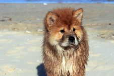 Free Chow Chow Dog Stock Photography - 35316982