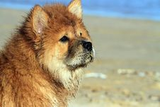 Free Young Chow Chow Dog Stock Photos - 35318233