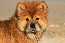 Free Young Chow Chow Dog Portrait Royalty Free Stock Photography - 35318357