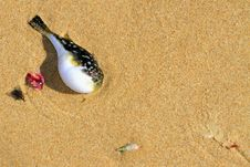 Free Pufferfish On The Beach Royalty Free Stock Photo - 35318455