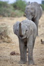 Free Elephant Calf Royalty Free Stock Photo - 35320485