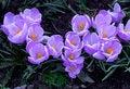 Free Purple Crocuses Royalty Free Stock Photography - 35324177