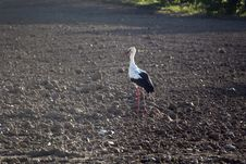 Stork In The Field