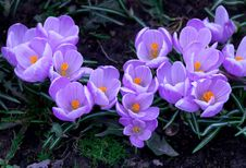 Free Purple Crocuses Royalty Free Stock Photography - 35324177