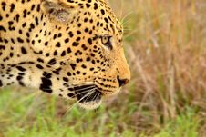 Free Leopard Stock Photos - 35327883