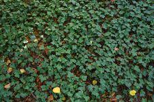 Free Green Ivy Texture Royalty Free Stock Photos - 35329098