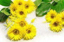 Free Yellow Chrysanthemum Stock Photos - 35331553