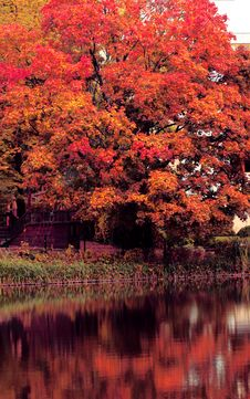 Free Red Autumn Tree Stock Photography - 35334262