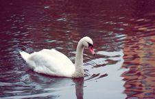 Free Swan Stock Photo - 35334360