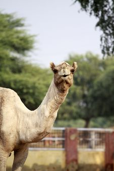 Free Camel Portrait,Bikaner,India. Royalty Free Stock Images - 35336009
