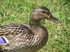 Free Mallard Hen. Royalty Free Stock Images - 35336639