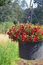 Free Red Petunia Flower Planter Stock Photos - 35341193