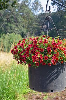 Free Red Petunia Flower Planter Stock Photos - 35341193
