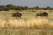 Blue Wildebeest Rutting Stock Image