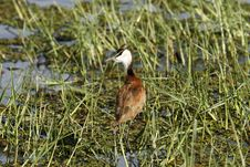 Free African Jacana Stock Photo - 35345080