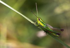 Free Green Locust Royalty Free Stock Images - 35353079