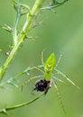 Free Lynx Spider Stock Photos - 35365393