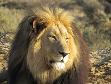Free Lion Panthero Leo Royalty Free Stock Image - 35360816