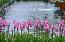 Free Pink Spring Tulips Royalty Free Stock Image - 35366916