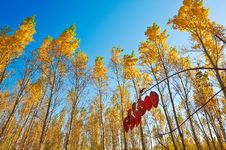Free The Golden Leaves And Blue Sky Autumnal Scenery Stock Photos - 35369273