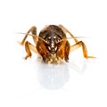 Free Mole Cricket Stock Images - 35378594