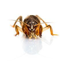 Free Mole Cricket Stock Images - 35378594