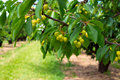 Free Green Cherries On A Branch Royalty Free Stock Image - 35390036