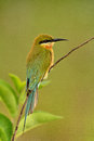 Free Blue-tailed Bee-eater. Royalty Free Stock Images - 35398939