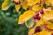 Free Whitebeam In Fall Royalty Free Stock Photography - 35393267