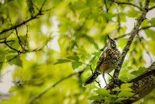 Free American Robin Juvenile In A Tree Stock Photos - 35393613