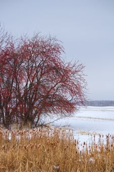 A Red Berry Tree In The Winter Royalty Free Stock Photography