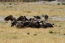 Free A Wake Of Old World Vultures. Stock Photography - 35398282