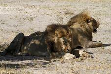 Free Panthera Leos Stock Photography - 35398412
