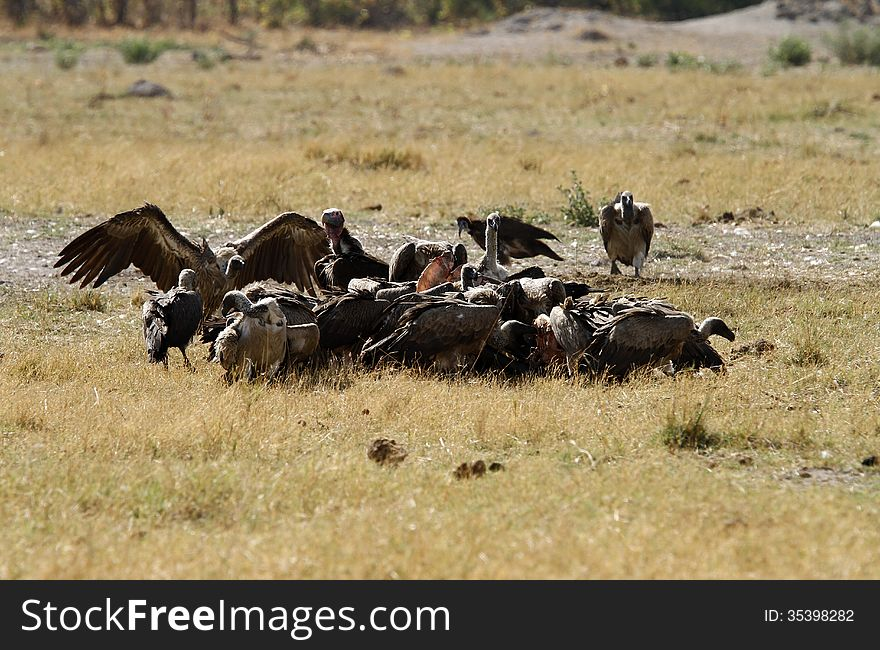 A wake of Old World Vultures.
